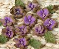 Darjeeling Minis x 24 PURPLE